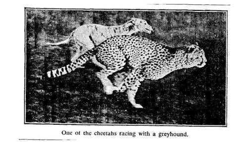 cheetah.jpg?w=500&h=287